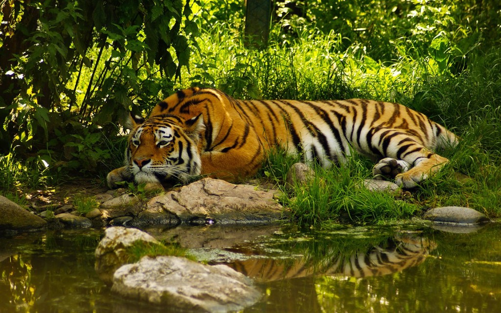The-Nature-Tiger-Wallpaper